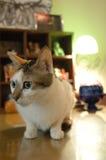 Gatto che si siede sulla tabella Immagini Stock