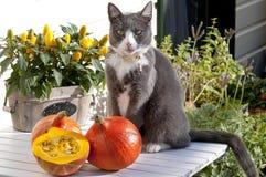 Gatto che si siede sulla tavola del giardino con la zucca Immagine Stock