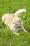 Gatto che si trova nell'erba Fotografia Stock