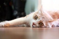 Gatto che si trova su un pavimento. Immagini Stock