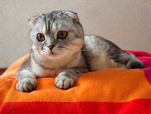 Gatto che si trova sul coverlet colorato Fotografia Stock