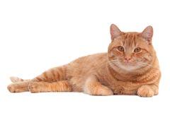Gatto che si trova sul pavimento Immagine Stock