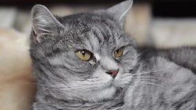 Gatto che si trova sul pavimento a casa 2 stock footage