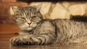 Gatto che si trova sul pavimento a casa 5 Immagini Stock