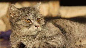 Gatto che si trova sul pavimento a casa 6 Fotografie Stock Libere da Diritti