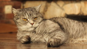 Gatto che si trova sul pavimento a casa 4 Fotografia Stock Libera da Diritti
