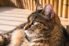 Gatto che si trova sul pavimento, esaminante distanza Immagini Stock Libere da Diritti