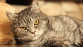Gatto che si trova sul pavimento a home-2 Fotografia Stock Libera da Diritti