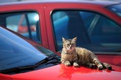 Gatto che si trova sull'automobile Fotografia Stock Libera da Diritti
