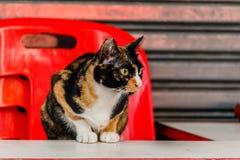 Gatto che si trova sulla sedia rossa e sulla tavola bianca immagini stock