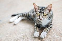 Gatto che si trova sulla terra Immagini Stock