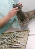 Gatto in clinica Fotografia Stock Libera da Diritti