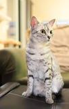Gatto comodo di Mau dell'Egiziano Fotografia Stock