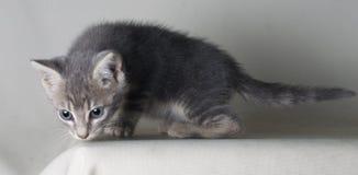 Gatto comune grigio che guarda qualcosa per la caccia nell'oscurità, isolato su bakcground grigio fotografia stock libera da diritti