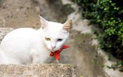 Gatto con due occhi colorati differenti Fotografia Stock