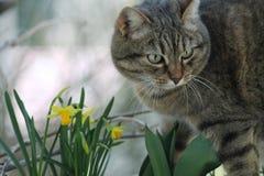 Gatto con fiori gialli. Il gatto cammina in giardino davanti a un gruppo di fiori gialli Stock Photography