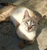 Gatto con gli occhi azzurri immagine stock libera da diritti