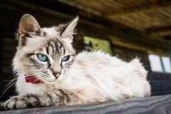 Gatto con gli occhi azzurri Fotografia Stock