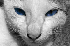 Gatto con gli occhi azzurri Fotografie Stock