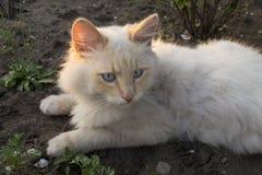 Gatto con gli occhi azzurri fotografie stock libere da diritti