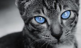 Gatto con gli occhi di stordimento Fotografie Stock Libere da Diritti