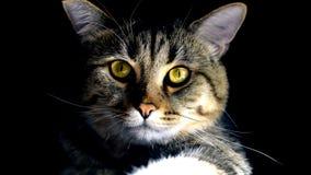 Gatto con gli occhi gialli Fotografia Stock Libera da Diritti
