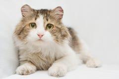 Gatto con gli occhi tristi su fondo bianco fotografia stock