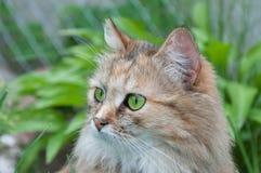 Gatto con gli occhi verdi Fotografia Stock