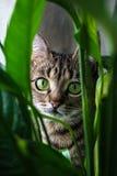 Gatto con gli occhi verdi Immagine Stock Libera da Diritti