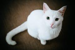 Gatto con gli occhi verdi Immagini Stock