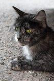 Gatto con gli occhi verdi che guardano a sinistra Fotografie Stock Libere da Diritti