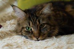 Gatto con gli occhi verdi riposati sullo strato immagini stock
