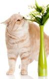 Gatto con i fiori isolati sulla cartolina bianca della molla del backgroud Fotografia Stock