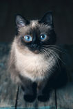 Gatto con i grandi occhi azzurri Fotografie Stock Libere da Diritti