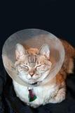 Gatto con il collare del cono fotografie stock
