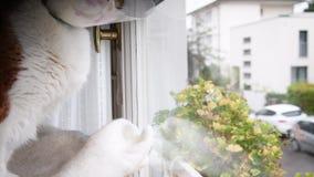 Gatto con il cono di vergogna che guarda attraverso la finestra stock footage