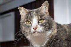 Gatto con il fagiolo del latte Fotografia Stock