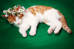Gatto con la corona floreale Immagine Stock