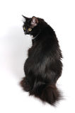 Gatto con la piccola coda Immagine Stock Libera da Diritti