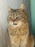 Gatto con la seduta degli occhi verdi Immagine Stock Libera da Diritti