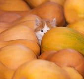 Gatto con le zucche Immagini Stock