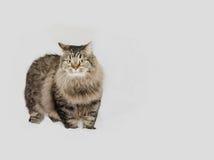 Gatto con pelliccia grigia magnifica Fotografie Stock