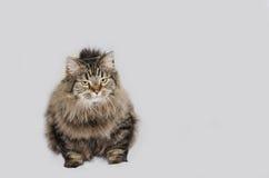 Gatto con pelliccia grigia magnifica Immagine Stock Libera da Diritti
