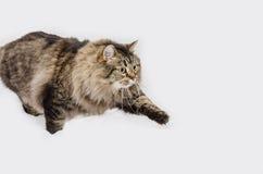 Gatto con pelliccia grigia magnifica Fotografia Stock