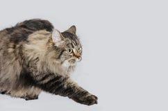 Gatto con pelliccia grigia magnifica Fotografia Stock Libera da Diritti