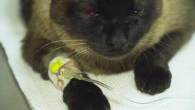 Gatto con un catetere in un veterinario alla clinica stock footage