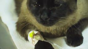 Gatto con un catetere in un veterinario alla clinica video d archivio