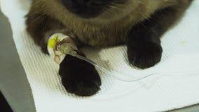 Gatto con un catetere in un veterinario alla clinica archivi video