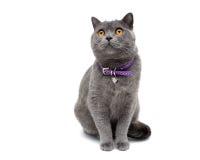 Gatto con un collare isolato su un primo piano bianco del fondo Fotografie Stock