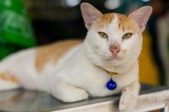 Gatto con un pendente Fotografie Stock